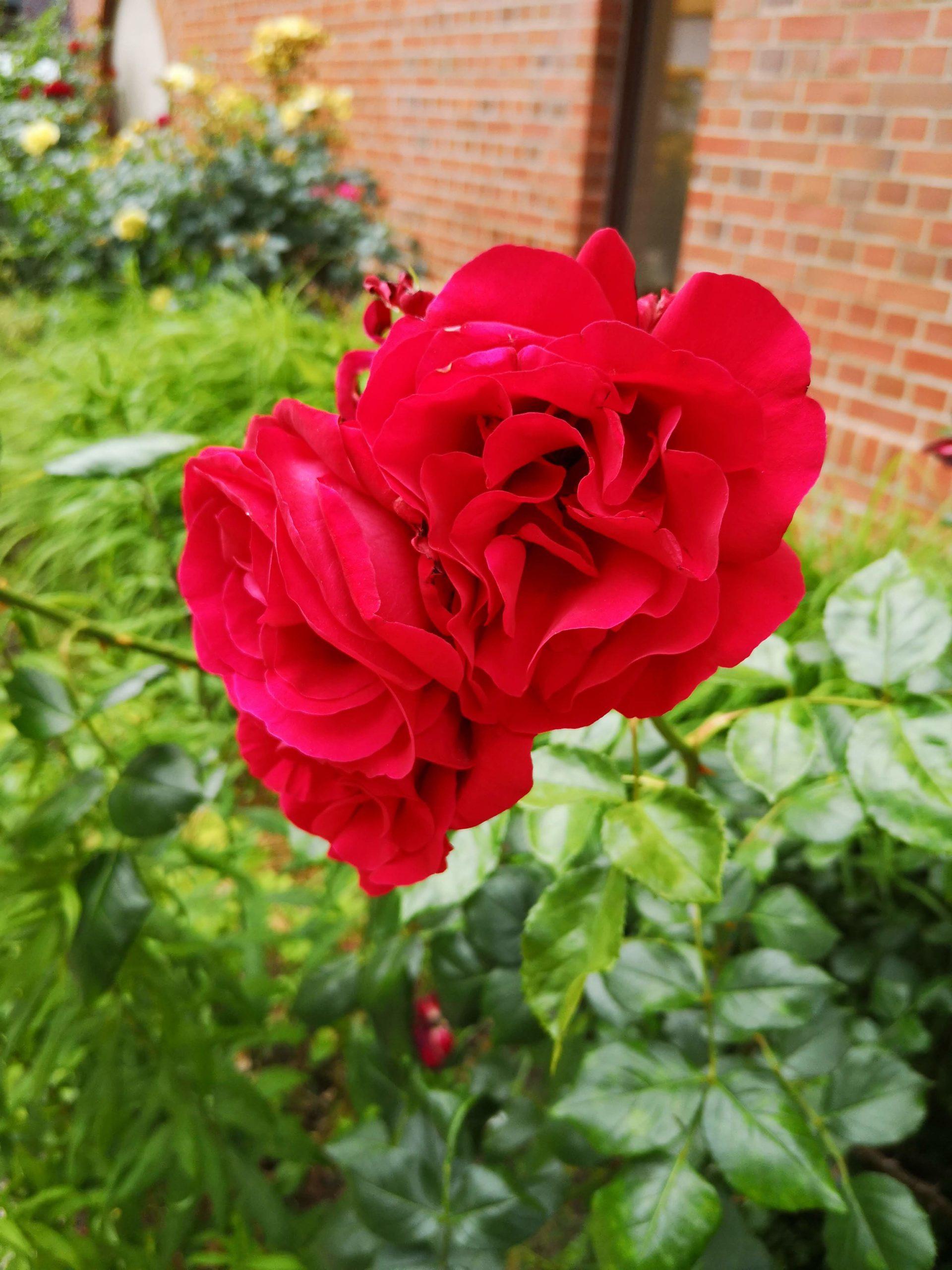 schöne rote Blumen